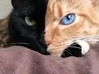 OMG, Inilah Kucing Bermuka Dua yang Terkenal di Jagat Maya, Siapakah Nama Kucing Tersebut?