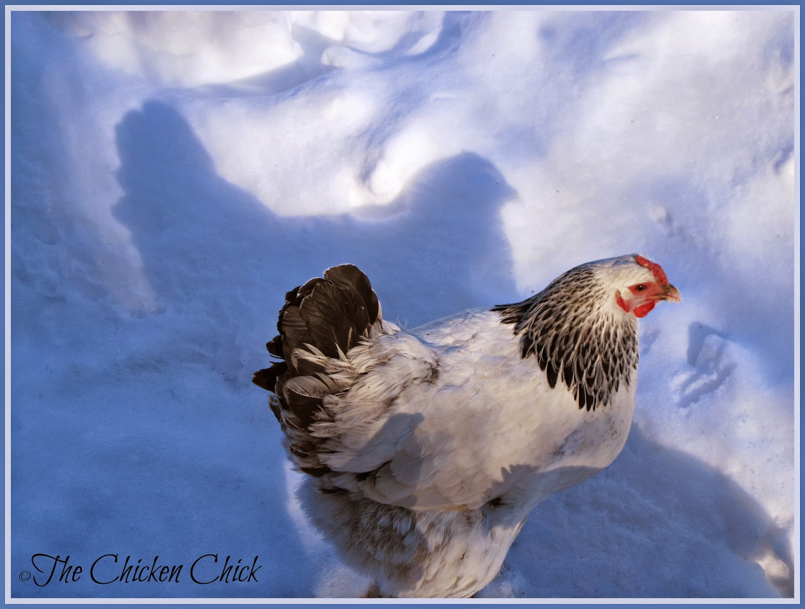 Lola, a Columbian Wyandotte hen and her shadow.