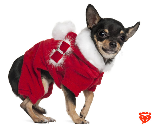 The dog body language quiz: How can I tell if my dog is afraid? Look at this dog in a Santa costume (see the tucked tail?)