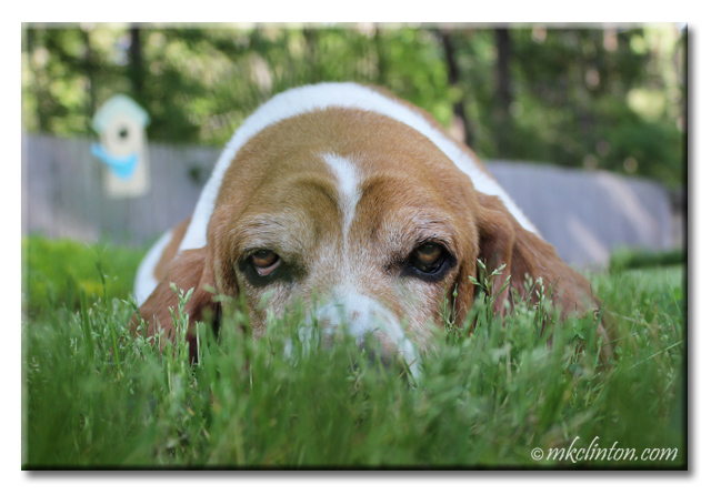 Bentley Basset hiding in the grass