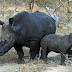 Rinocerontes negros regresan a Ruanda una década después de su desaparición