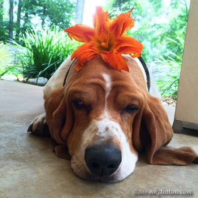 Basset wearing a bright orange day lily on his head