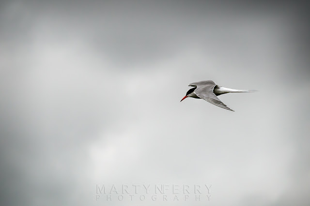 Common tern in flight at Ouse Fen RSPB reserve