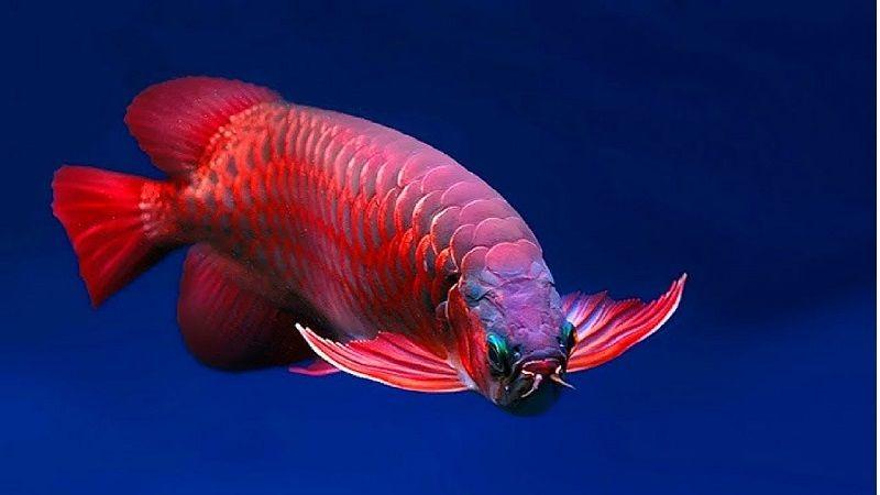 Gambar Ikan Arwana Terbesar Di Kalimantan