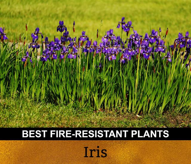 Best Fire Resistant Plants Iris