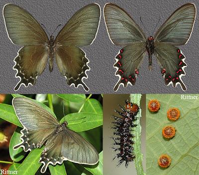 Mariposa viuda del monte Parides perrhebus