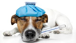 febre em cães