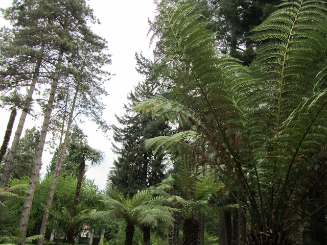 Dicksonia antarctica villa taranto verbania