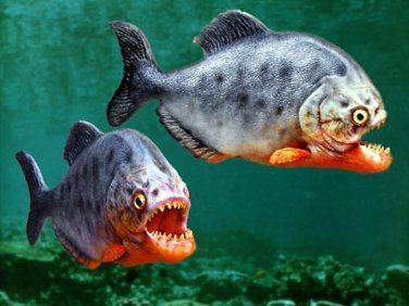 Ikan piranha perut merah - sungai amazon