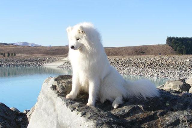Chó Samoyed thường mắc phải những bệnh gì?