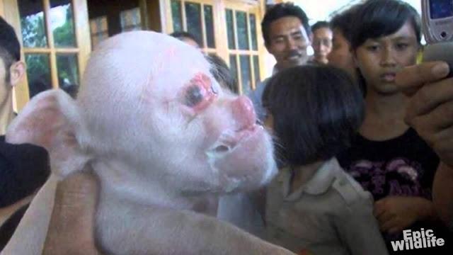 hybridation incroyable entre singe et porc