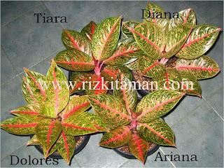 Jual aglaonema dolores | suplier tanaman | bromelia | sansiviera | adenium