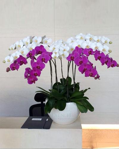 10 cành. Hồ Điệp màu trắng & hồng tím. giá 2.650.000đ