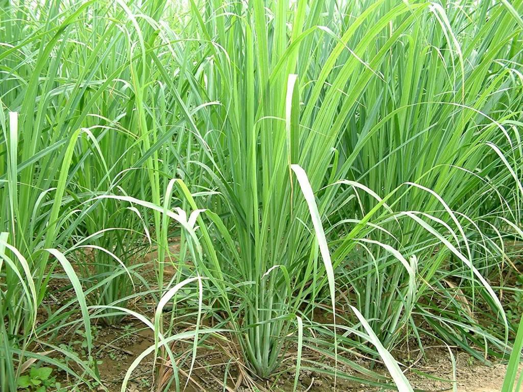 Citroengras, als keukeningrediënt en medicament   Suriname Nieuws ...