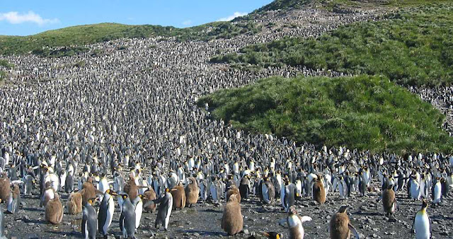 Pingüins passam bem e se multiplicam muito. Foto: na Geórgia do Sul.