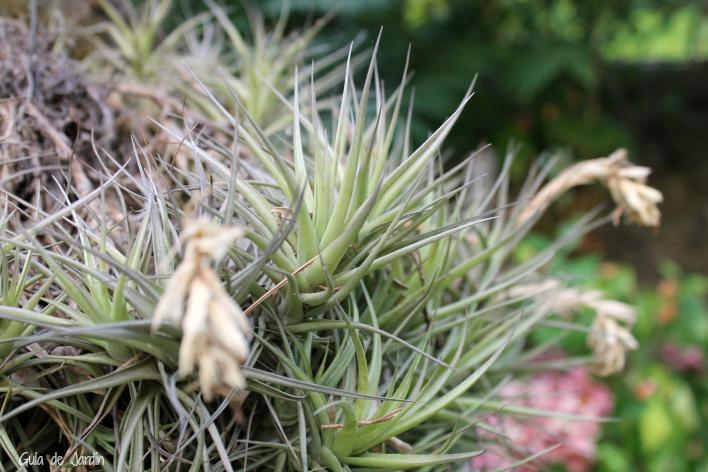 Flores secas de tillandsia