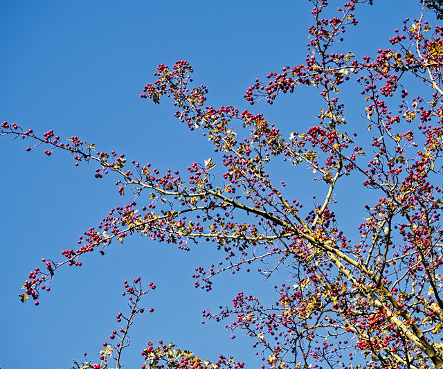Branches of hawthorn bush covered in red berries