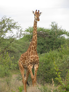 Giraffe standing full-length, knees slightly bent.
