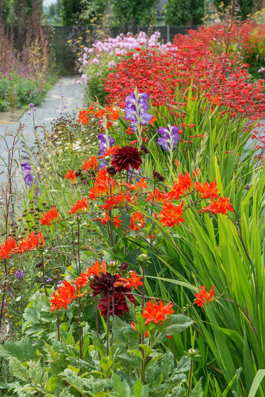 crocosmias, dalias y gladiolos para flor de corte en jardín o macetas