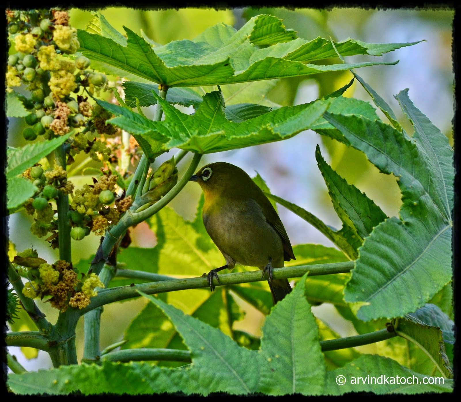 Oriental White Eye, Tiny Bird,