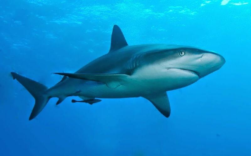 Gambar Ikan Laut Hiu