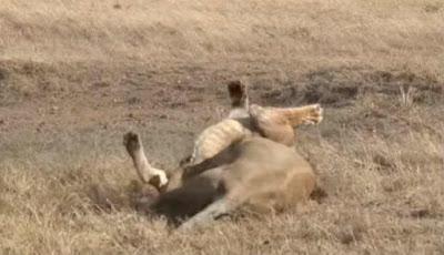 serangan singa jantan besar kepada singa muda