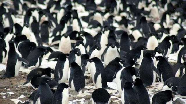 Koloni Penguin Memenuhi Antartika Timur, Fenomena Apa?