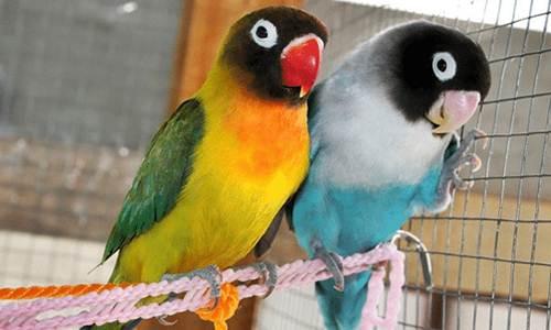 Inilah Ciri-Ciri Burung Lovebird Bermental Fighter dan Ngekek Panjang