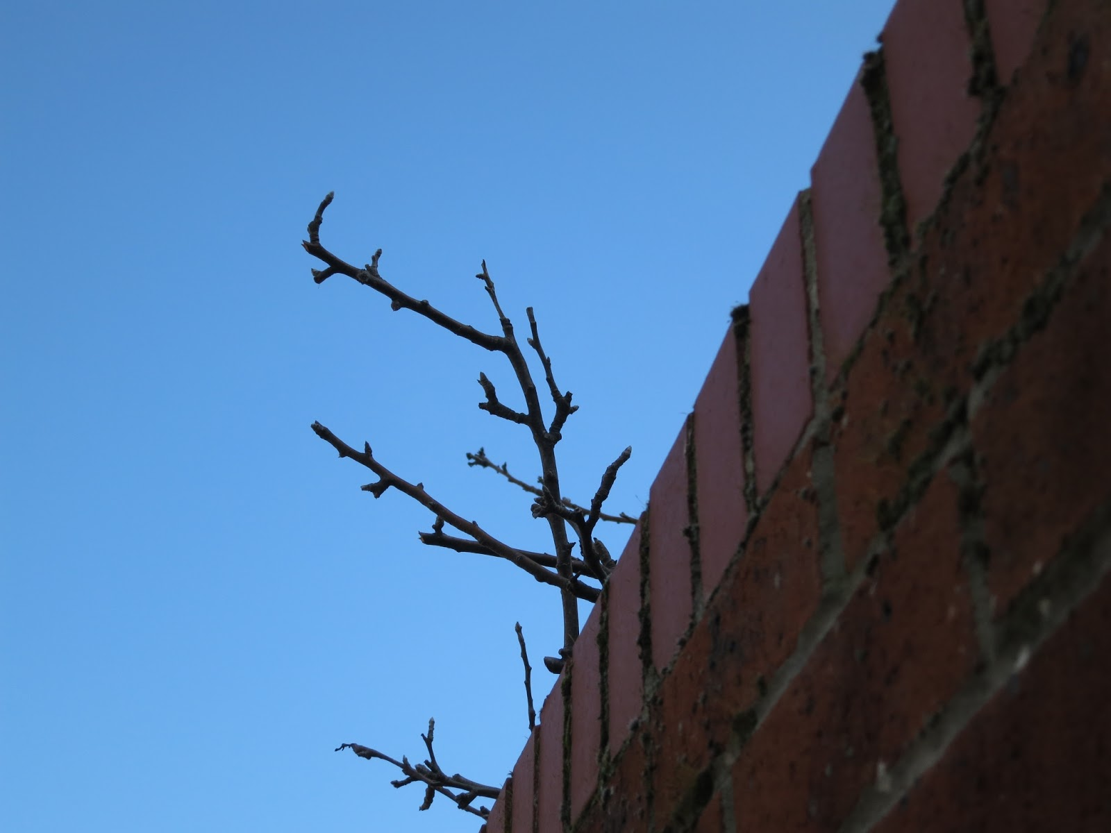 Apple tree twigs poking over brick wall against deep blue sky.