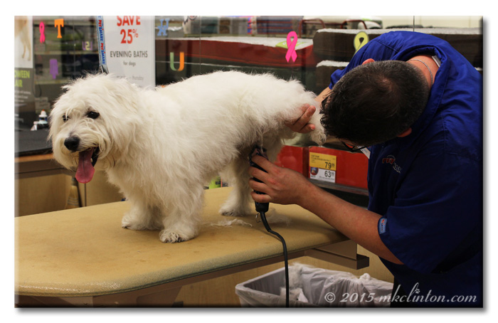 Westie getting his underside shaved