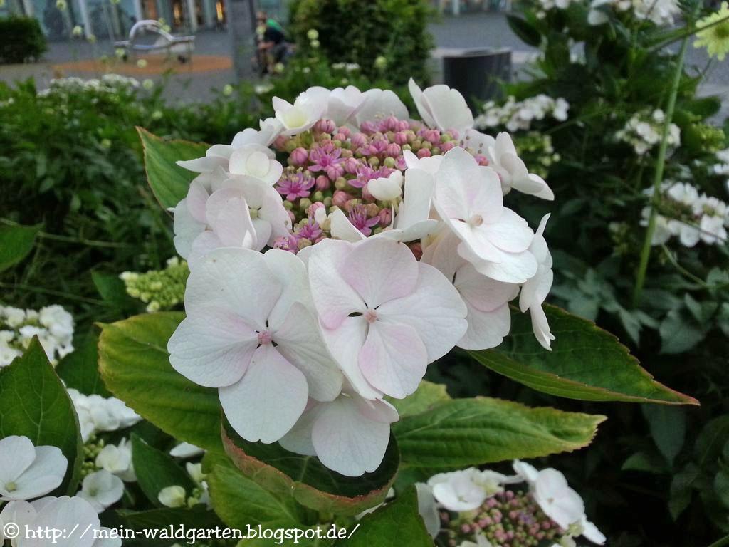 hortensien vermehren hortensien durch stecklinge vermehren gardens plants de 266 b sta garten. Black Bedroom Furniture Sets. Home Design Ideas