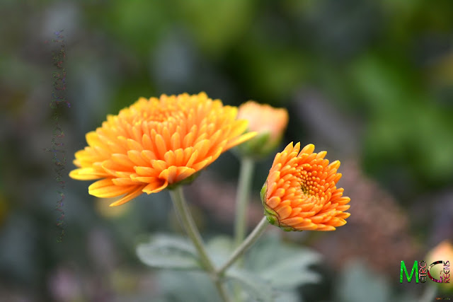 Metro Greens: Orange Chrysanthemum Blooms