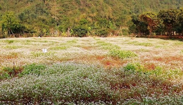 Ninh Binh brightened with buckwheat flowers blooming 1