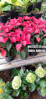 Jual Pohon Kastuba | Daun Merah | Tanaman Hias Untuk Natal