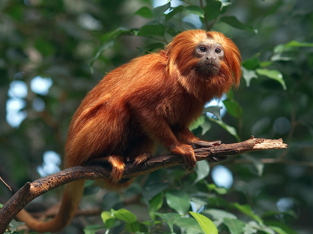 The Golden Lion Tamarin | Facts & Photographs | The Wildlife