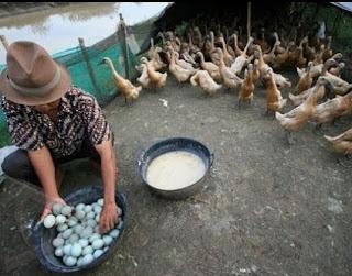 kandang bebek petelur yang baik,memelihara bebek petelur,ukuran kandang bebek petelur 100 ekor,cara ternak bebek petelur bagi pemula,budidaya ternak bebek petelur,
