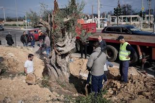 Υπεραιωνόβιες ελιές στη θέση των καμμένων πεύκων στη Μαραθώνος