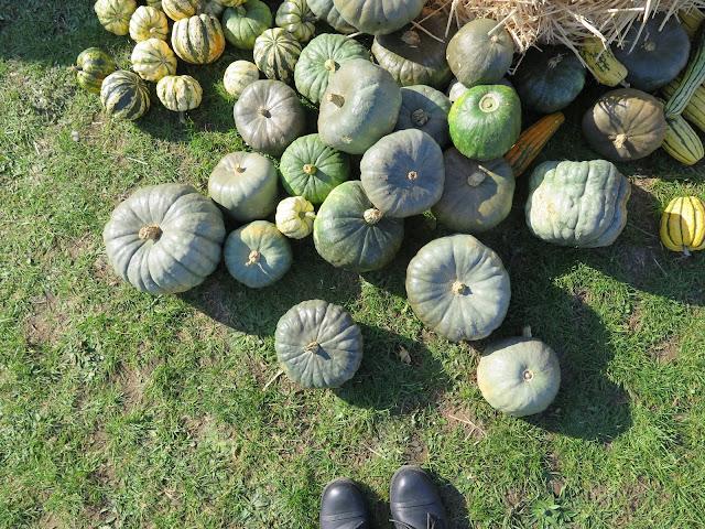 grey pumpkins, lathcoats farm, apple day
