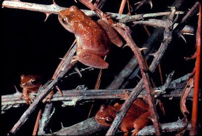 rana primavera Pseudacris crucifer