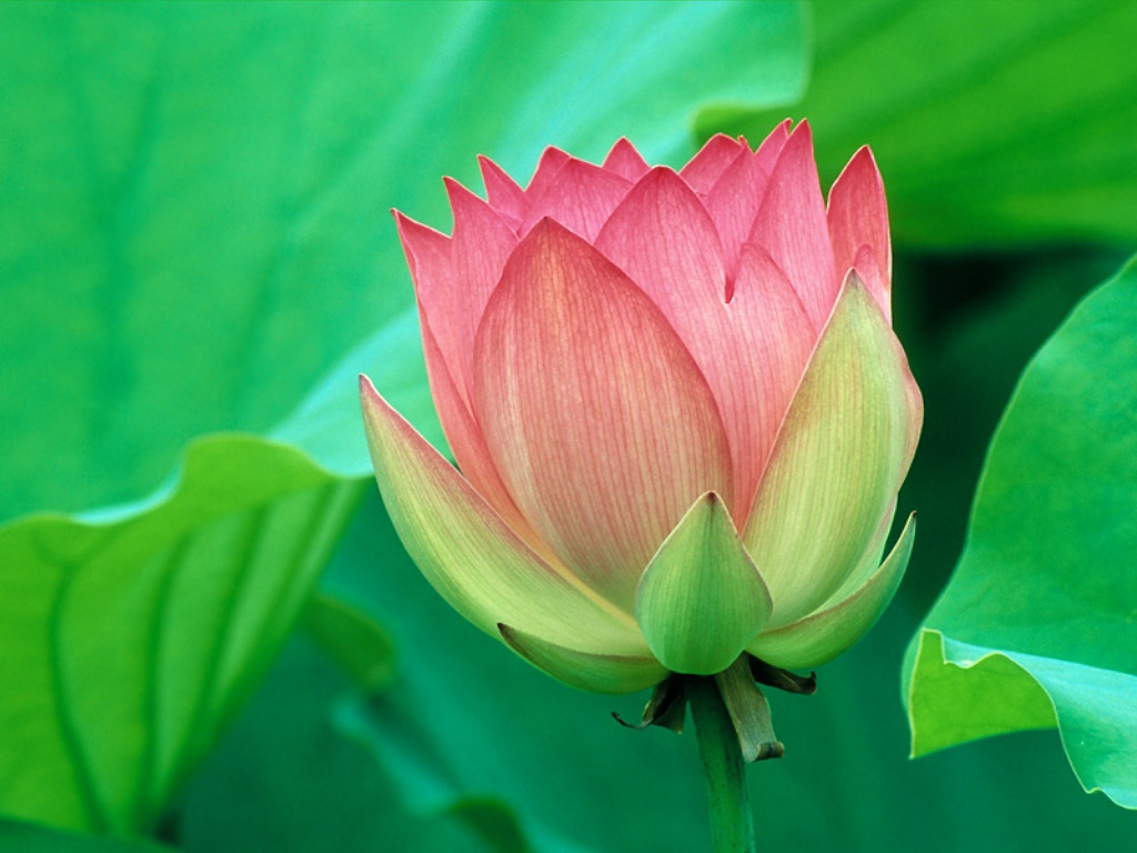 Flower Picture: Lotus Flower # 3