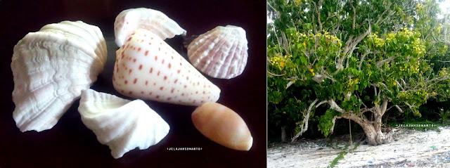 Pantai Mandala Ria: Cangkang kerang dan Pohon Waru Laut  +fotojelajahsuwanto