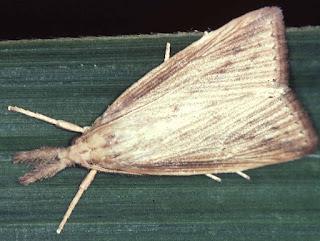 Diatraea saccharalis