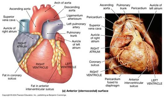 Anatomía cardiaca | Se dice Médico