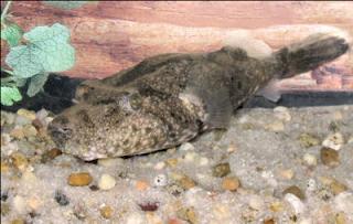Ikan Buntal Air Tawar Pignose Puffer