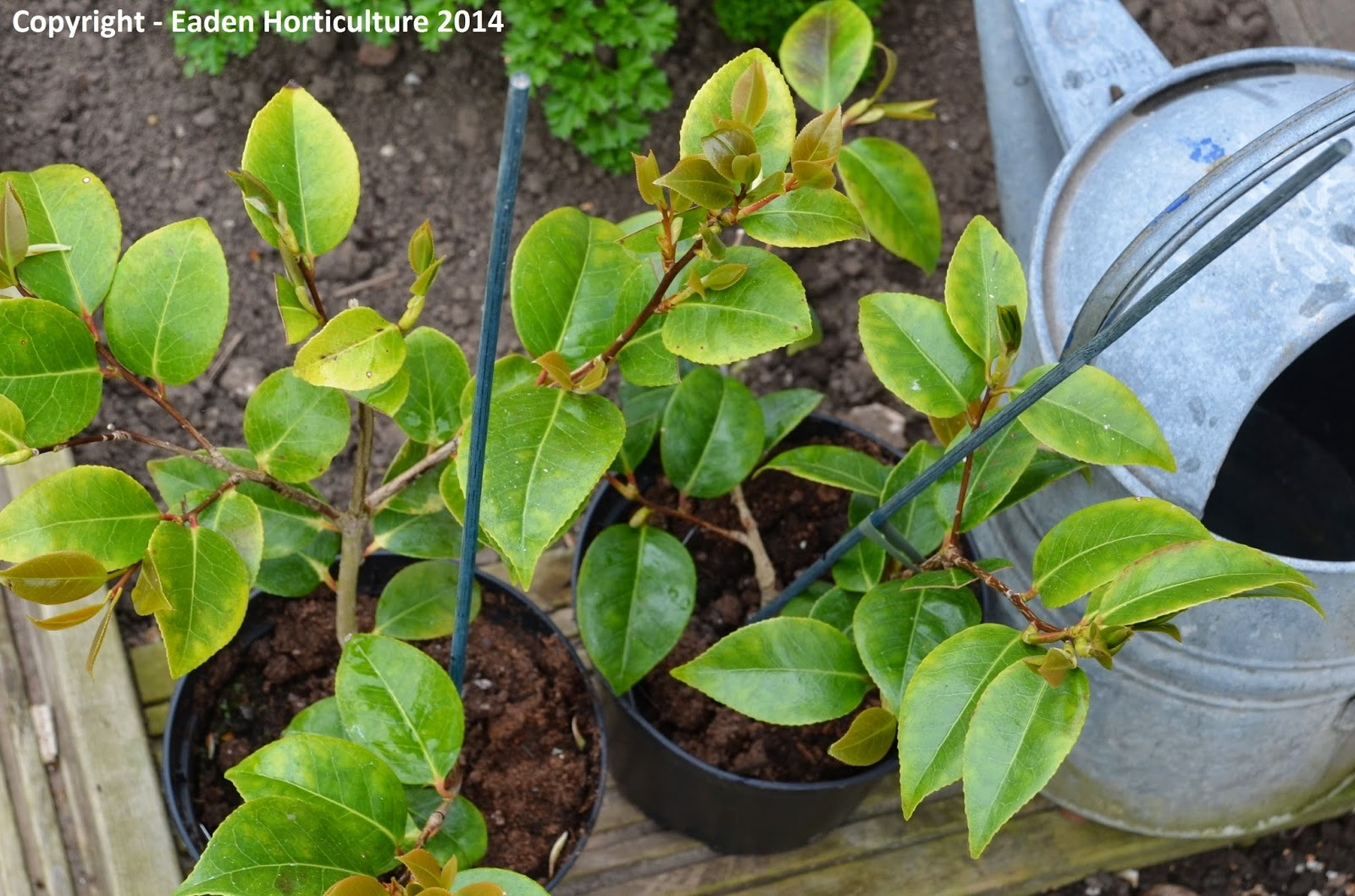 Why Are My Camellia Leaves Turning Yellow