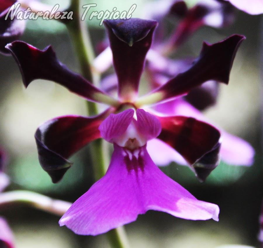Flor de la especie Encyclia cordigera