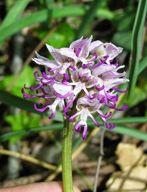 Naked Man Orchid (Orchis Italica) - 17 Flowers That Look Like Something Else