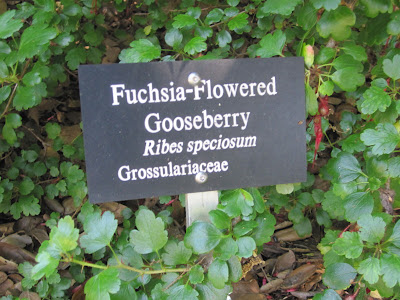 Fuchsia-flowered gooseberry