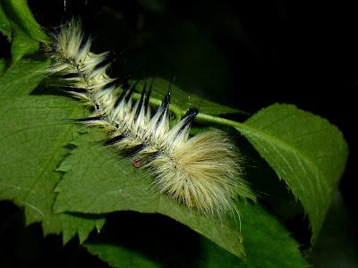 Palirisa cervina formosana caterpillar