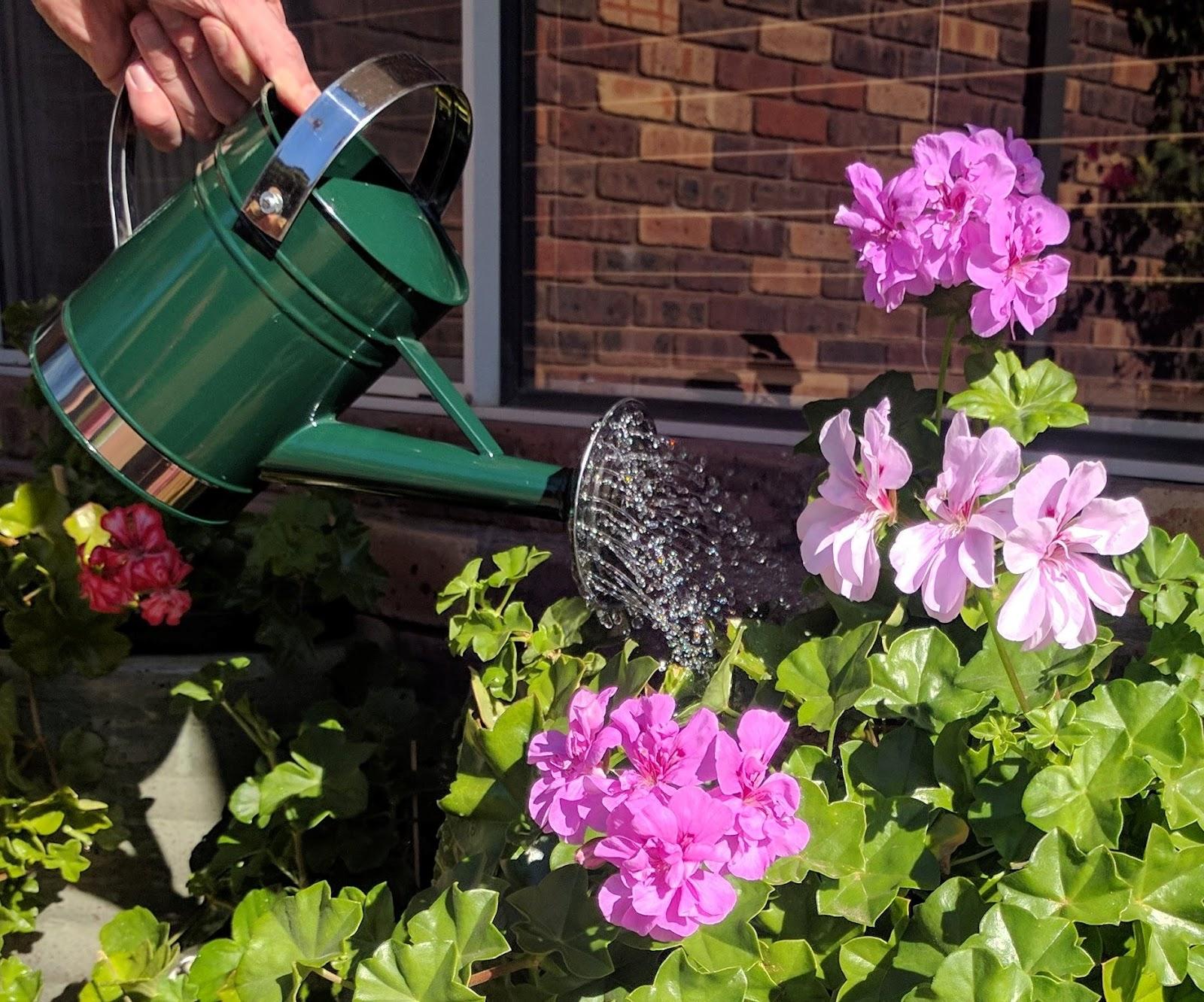 Watering geraniums